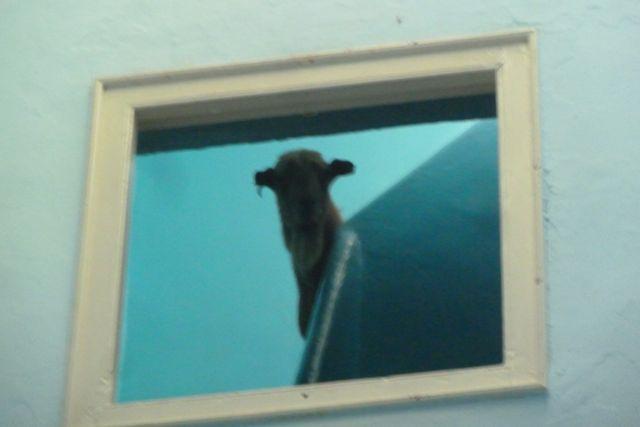 Eine Ziege im Hotel von Tanger