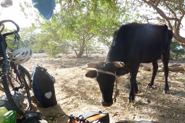 Kühe zum Frühstück